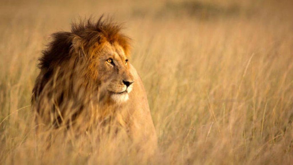 Terbesar Sepanjang Sejarah, 14 Singa Kabur dari Taman Nasional Afrika Selatan
